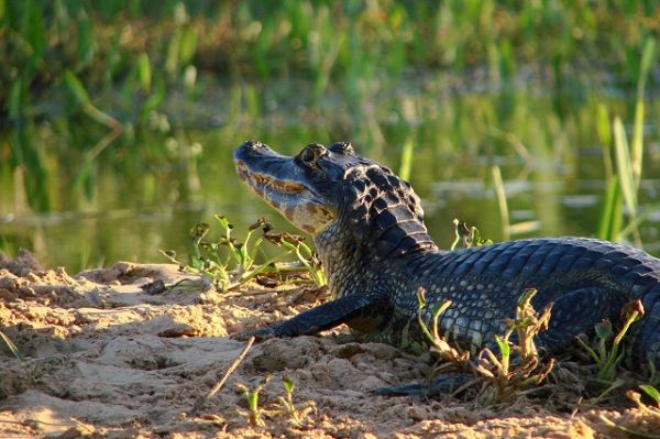 Pantanal | Fonte: Banco de imagens